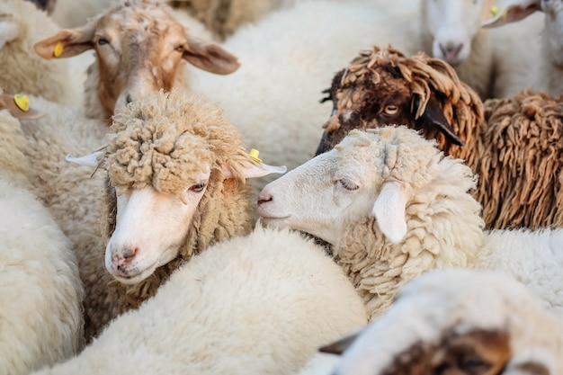 Closeup sheep wait for food from tourist in farm background Premium Photo