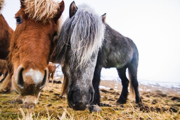 Primo piano dei pony shetland in un campo coperto di erba e neve sotto un cielo nuvoloso in islanda Foto Gratuite