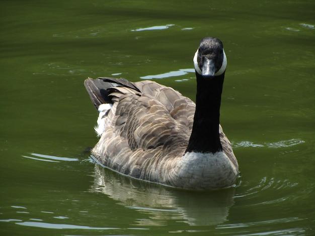 Closeup colpo di un adulto canada goose nuotare in uno stagno a bruxelles, in belgio Foto Gratuite