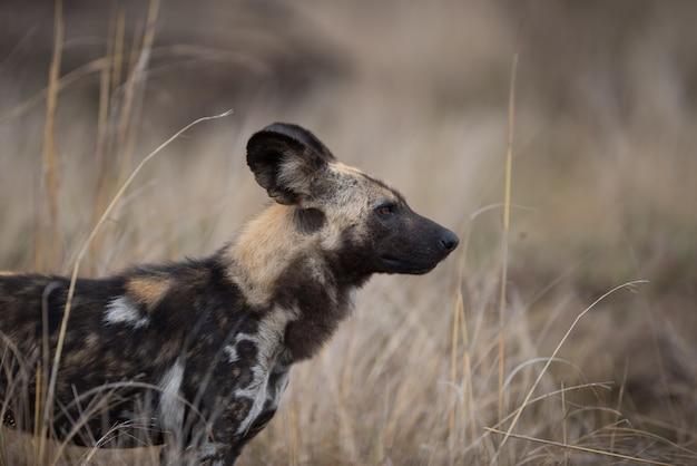 Colpo del primo piano di un cane selvatico africano Foto Gratuite