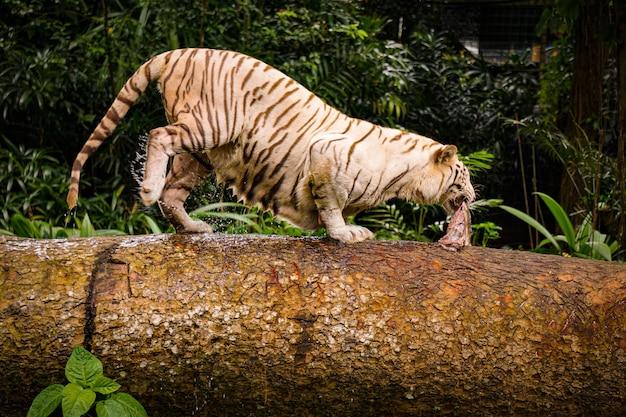 Colpo del primo piano di una tigre aggressiva che attraversa un tubo di legno con un pezzo di carne in bocca Foto Gratuite