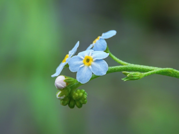 Colpo del primo piano dei fiori alpini del nontiscordardime con la natura verde Foto Gratuite