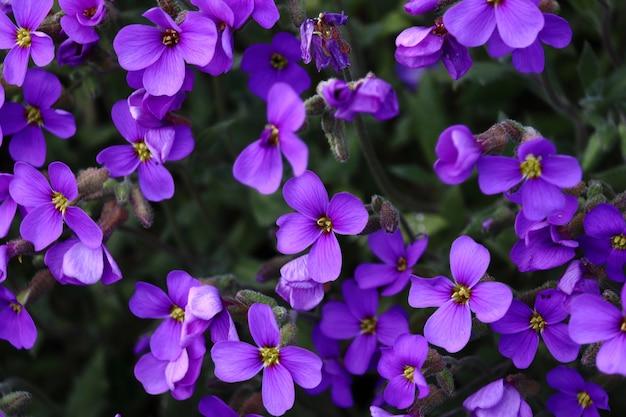 Colpo del primo piano di incredibili fiori viola aubrieta Foto Gratuite