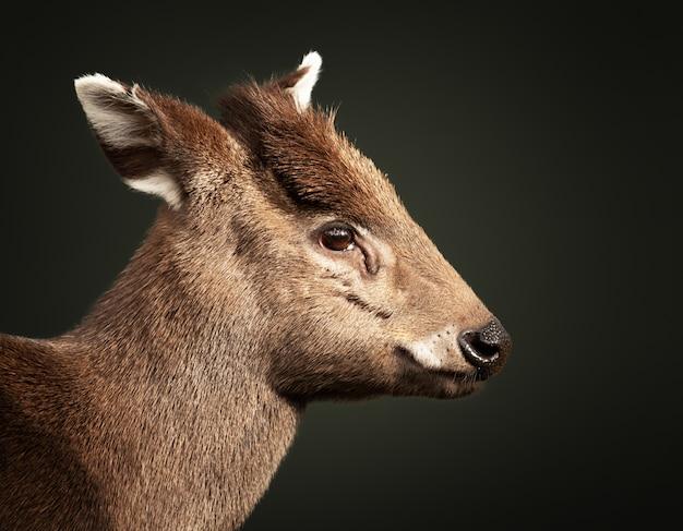 Closeup shot of a baby deer Free Photo