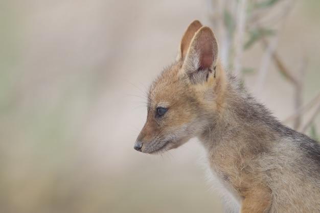 Colpo del primo piano di una volpe rapida del bambino che osserva in lontananza Foto Gratuite