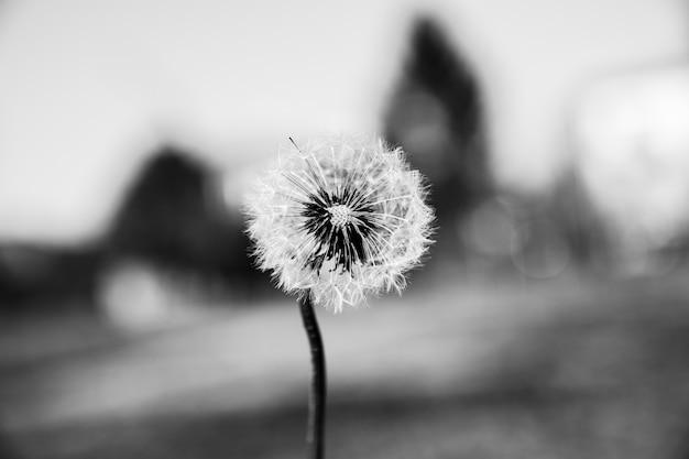 Closeup shot of a beautiful dandelion Free Photo