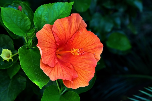 Closeup shot of a beautiful hawaiian hibiscus in tuscany and elba in italy Free Photo