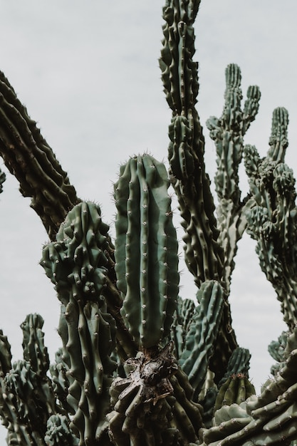 Closeup shot of a beautiful large cacti tree with long spiky branches and blooming fruit on them Free Photo