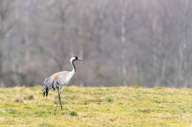 Closeup shot of beautiful lonely crane standing  in the field Free Photo