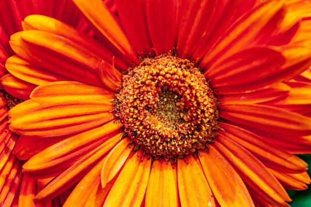 Colpo del primo piano di un bel fiore della margherita di barberton dai petali arancioni Foto Gratuite