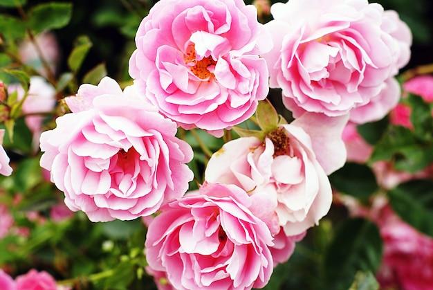 Closeup shot of beautiful pink garden roses growing on the bush Free Photo