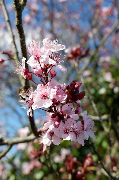 Colpo del primo piano di bellissimi fiori di ciliegio rosa petalo su uno sfondo sfocato Foto Gratuite