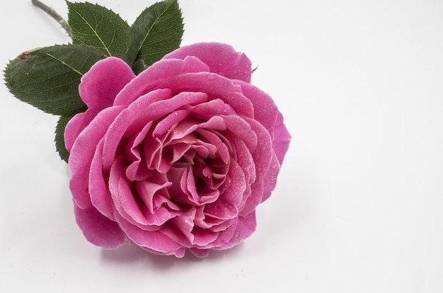 Closeup shot of a beautiful pink rose with water drops isolated on a white distance Free Photo