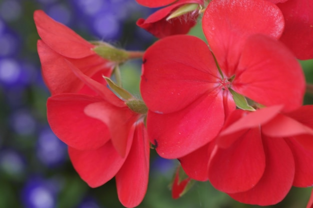 Colpo del primo piano di un bel fiore rosso con uno sfondo sfocato Foto Gratuite