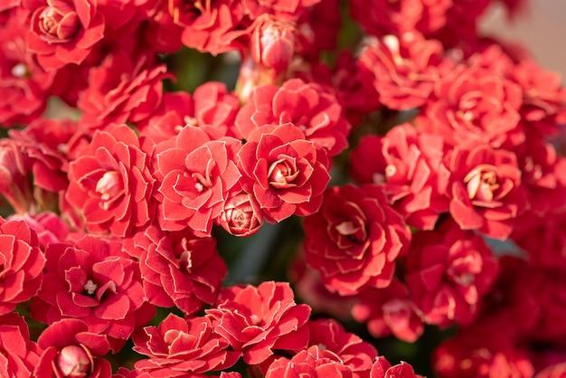 Colpo del primo piano di bei fiori rossi Foto Gratuite