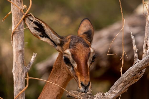 Closeup shot of a beautiful roe deer among the trees captured in kenya, nairobi, samburu Free Photo