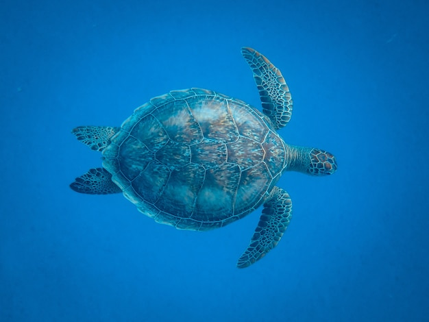 Closeup shot of a beautiful turtle swimming under the sea Free Photo