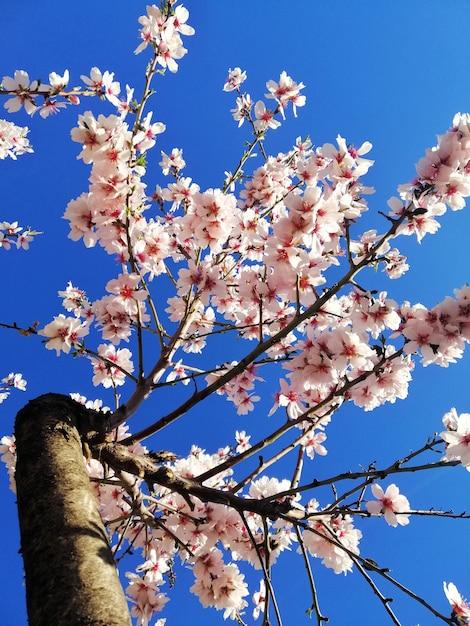 Closeup colpo di bellissimi fiori bianchi su mandorli e un cielo blu Foto Gratuite