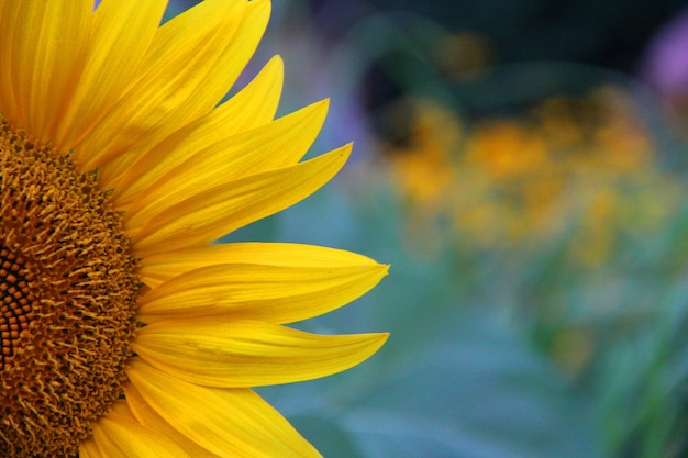 Closeup shot of a beautiful yellow sunflower on a blurred background Free Photo