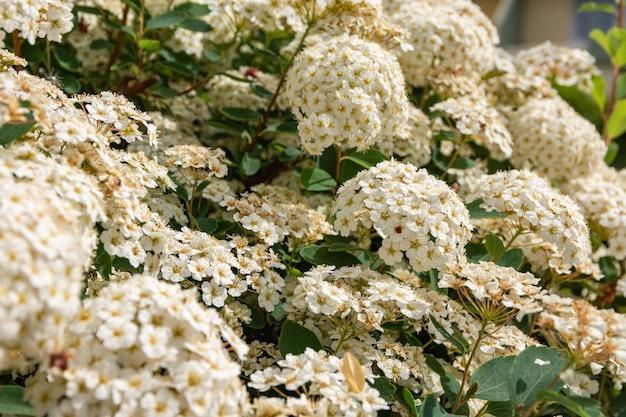 Colpo del primo piano dei fiori di fioritura delle ortensie bianche Foto Gratuite