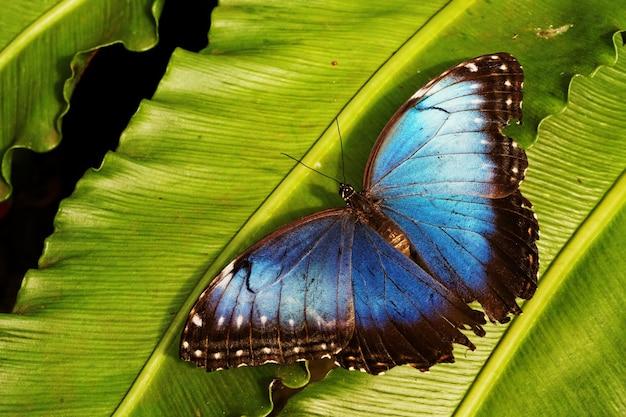 Colpo del primo piano di una farfalla blu sulla foglia verde Foto Gratuite