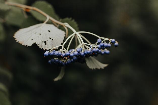 Colpo del primo piano dei mirtilli su un ramo di un albero in una foresta su un fondo vago Foto Gratuite