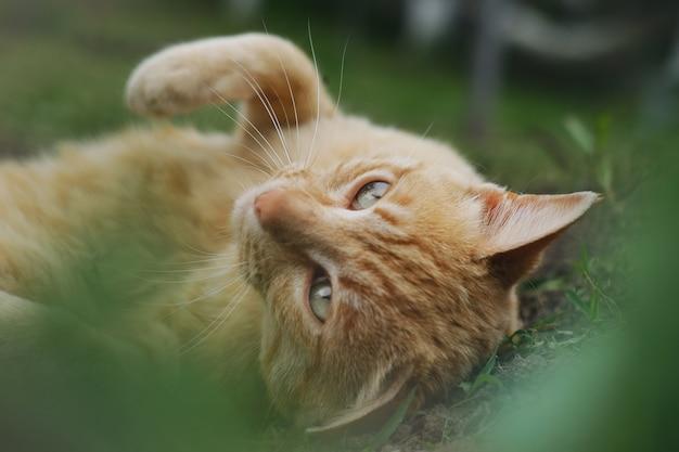 Colpo del primo piano di un gatto marrone che pone sull'erba Foto Gratuite