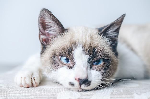Colpo del primo piano del viso bianco e marrone di un simpatico gatto dagli occhi azzurri Foto Gratuite