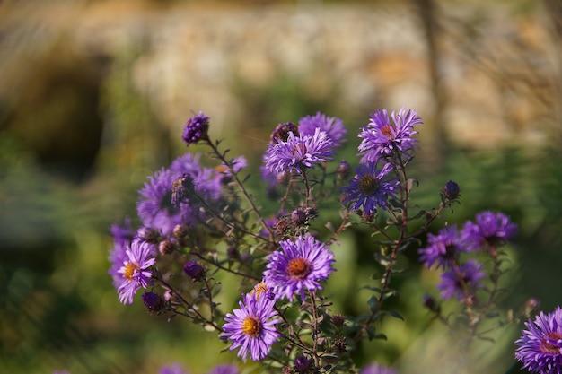 Colpo del primo piano di un cespuglio di fiori viola dell'aster del new england Foto Gratuite