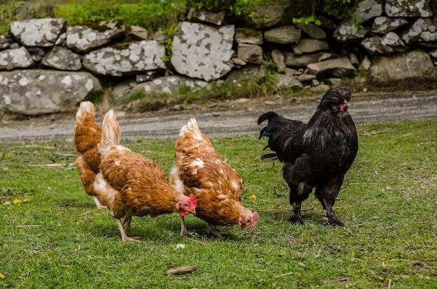 Colpo del primo piano di polli sul terreno coperto di vegetazione circondato da rocce sotto la luce del sole Foto Gratuite