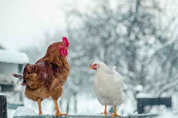 Closeup shot of a cock and a hen on a wooden surface with the snowflake Free Photo