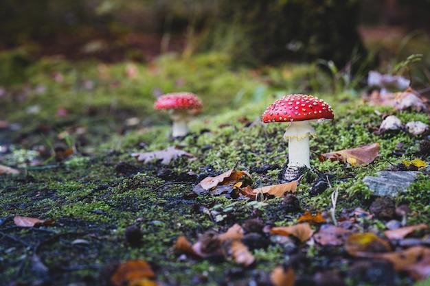 Colpo del primo piano di un fungo di agarico sveglio che cresce nell'erba Foto Gratuite