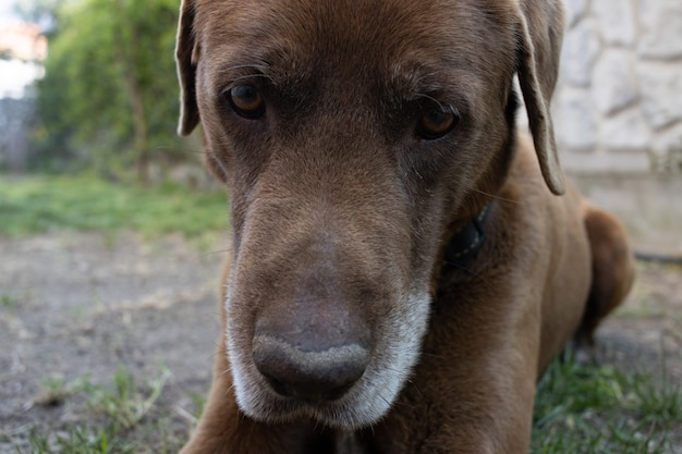 Colpo del primo piano di un simpatico cane marrone sdraiato sul terreno erboso Foto Gratuite