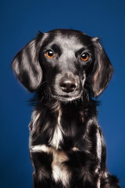 Colpo del primo piano di un simpatico cane su sfondo blu Foto Gratuite