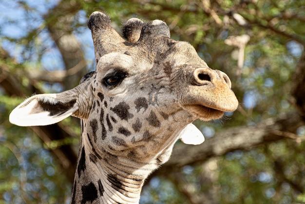 Colpo del primo piano di una giraffa carina davanti agli alberi con foglie verdi Foto Gratuite