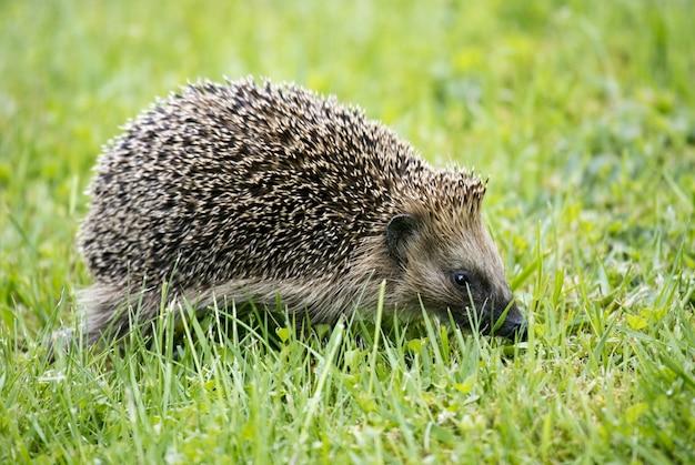 Colpo del primo piano di un istrice sveglio che cammina sull'erba verde Foto Gratuite