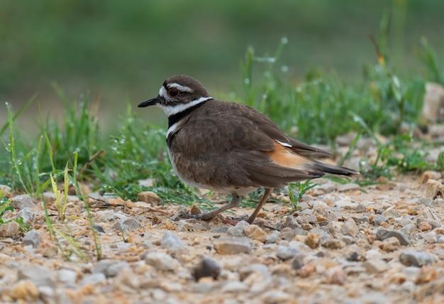 Colpo del primo piano di un uccello carino killdeer in piedi sul suolo Foto Gratuite