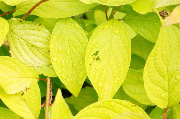 Colpo del primo piano delle gocce di rugiada sulle foglie verde chiaro Foto Gratuite