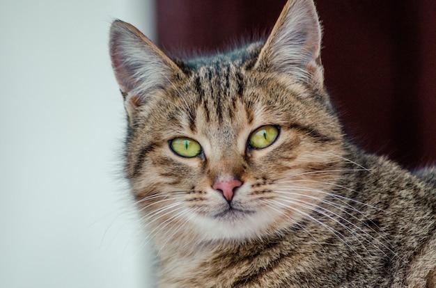 Colpo del primo piano del volto di un bellissimo gatto con gli occhi verdi su uno sfondo sfocato Foto Gratuite