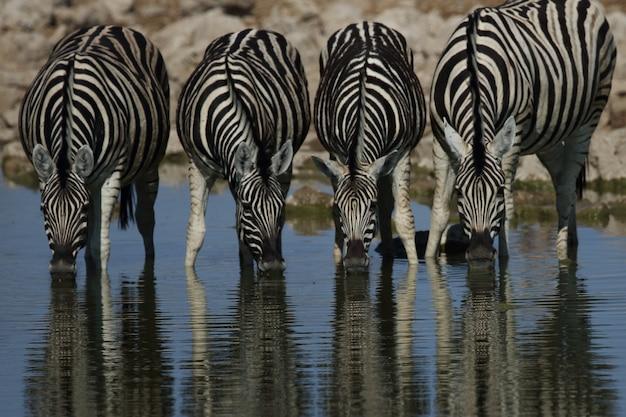 Colpo del primo piano di quattro zebre che bevono tutti insieme in una pozza d'acqua Foto Gratuite