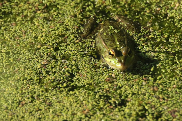 Closeup shot of a frog swimming in the green swamp Free Photo