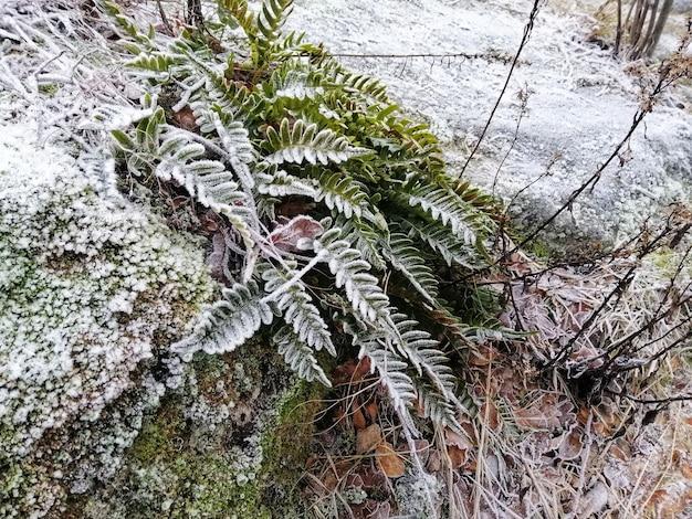 Colpo del primo piano di una pianta congelata nella foresta a larvik, norvegia Foto Gratuite