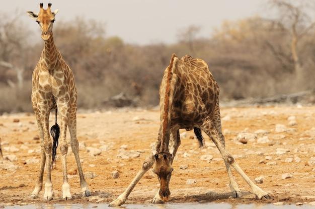 Colpo del primo piano di una giraffa in piedi lungo una sponda del fiume poco profonda e un'altra acqua potabile Foto Gratuite