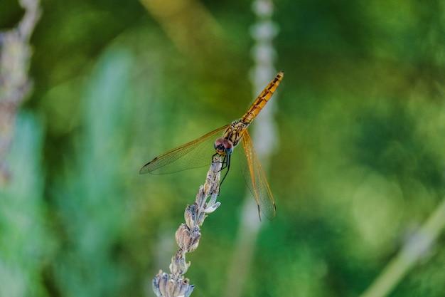 Colpo del primo piano di una libellula dorata su una pianta Foto Gratuite