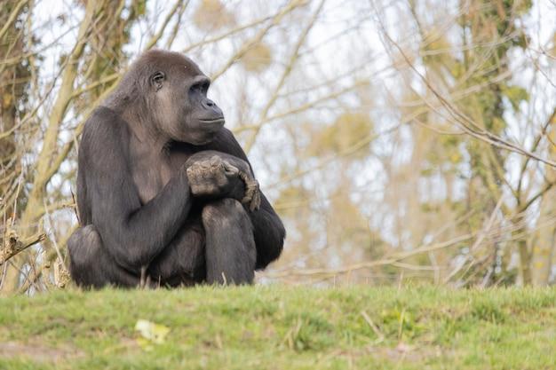Colpo del primo piano di un gorilla seduto comodamente su una collina e guardando lontano sognante Foto Gratuite