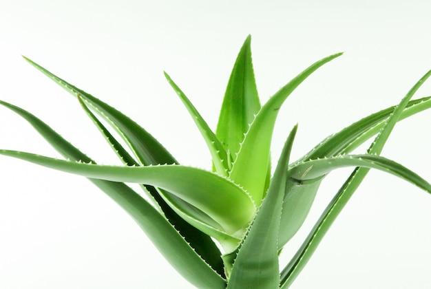 Colpo del primo piano di una pianta verde della vera dell'aloe su un bianco Foto Gratuite