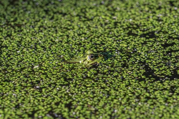 Colpo del primo piano di una rana verde che nuota nell'acqua con il pieno di piante verdi Foto Gratuite
