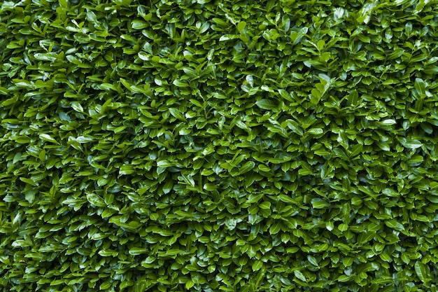 Closeup shot of the green hedge texture background Free Photo