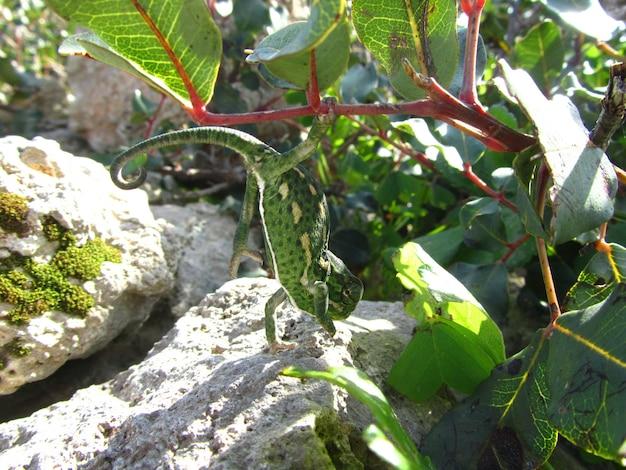 Colpo del primo piano di un camaleonte mediterraneo verde a malta Foto Gratuite
