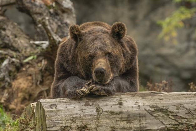 Colpo del primo piano di un orso grigio che pone su un albero Foto Gratuite